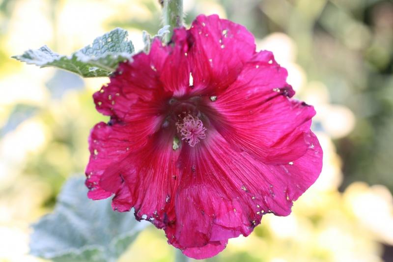 Intensiv farbige Blüte mit löchrigen Blütenblättern, teilweise abgestorbenem Gewebe